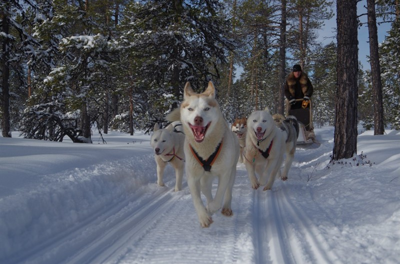 Sledging with husky Murmansk