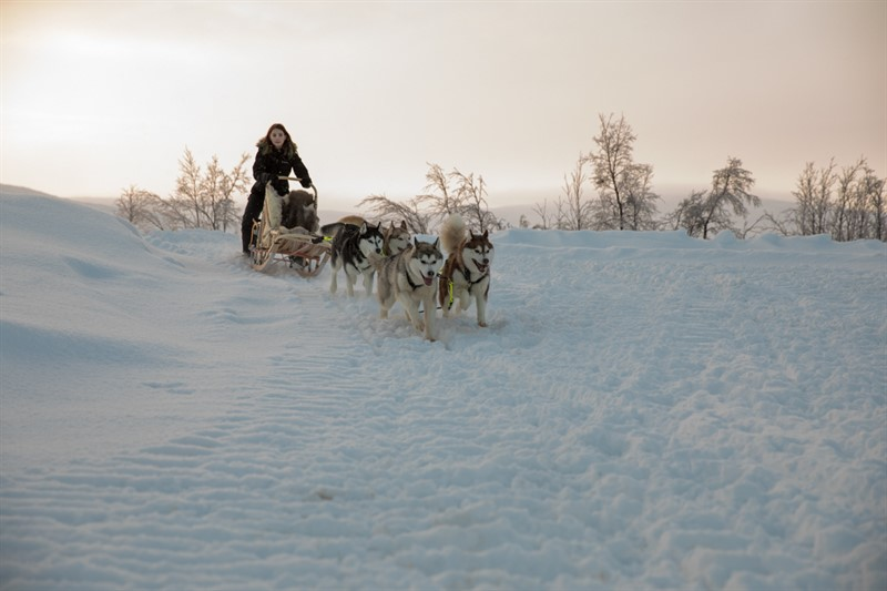 husky sledging in Murmansk