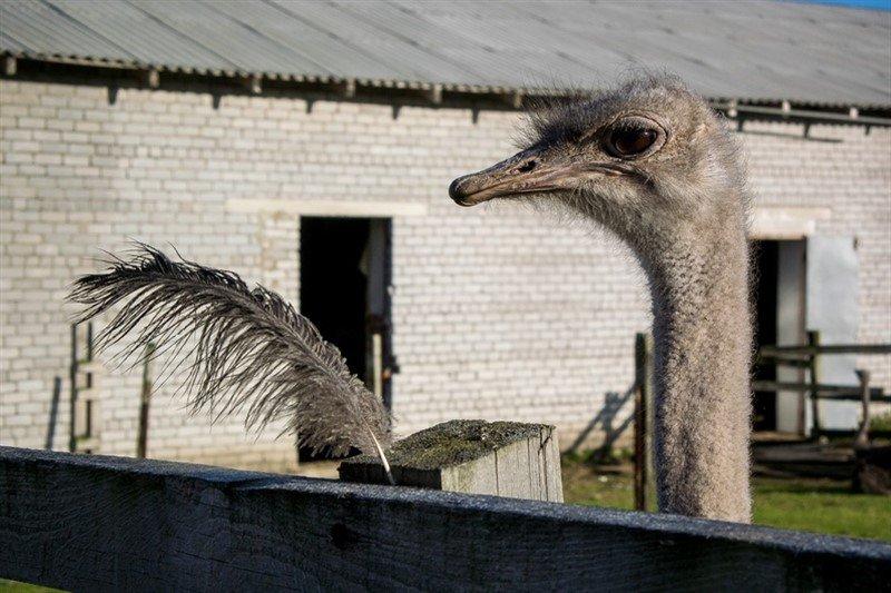 Murmansk Ostrich Farm