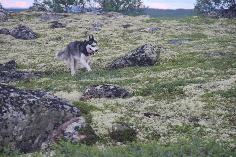 husky trekking tour in Murmansk